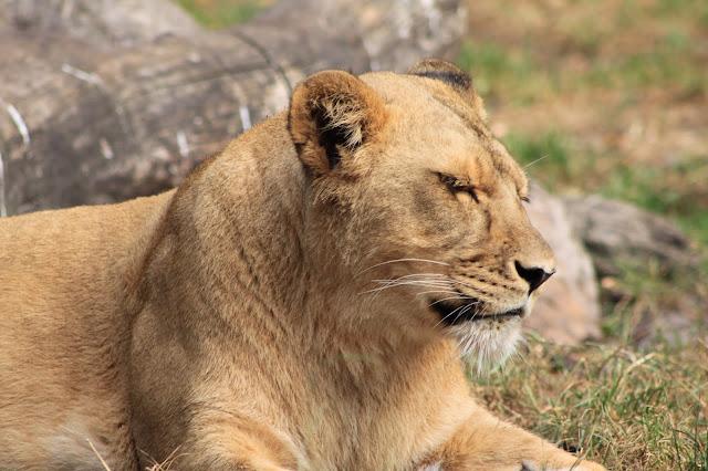 Wildkatze hautnah....Löwin auf der Safari in Deutschland