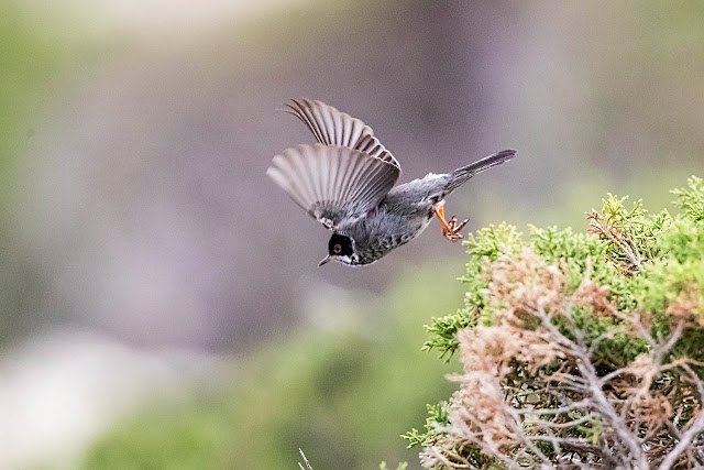 Cyprus Warbler, Photos from Spring 2018