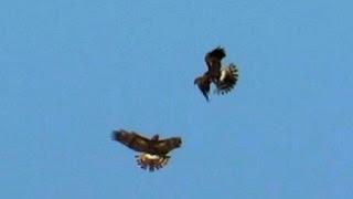Northern Harrier Hawks Passing Food in Mid-Air!