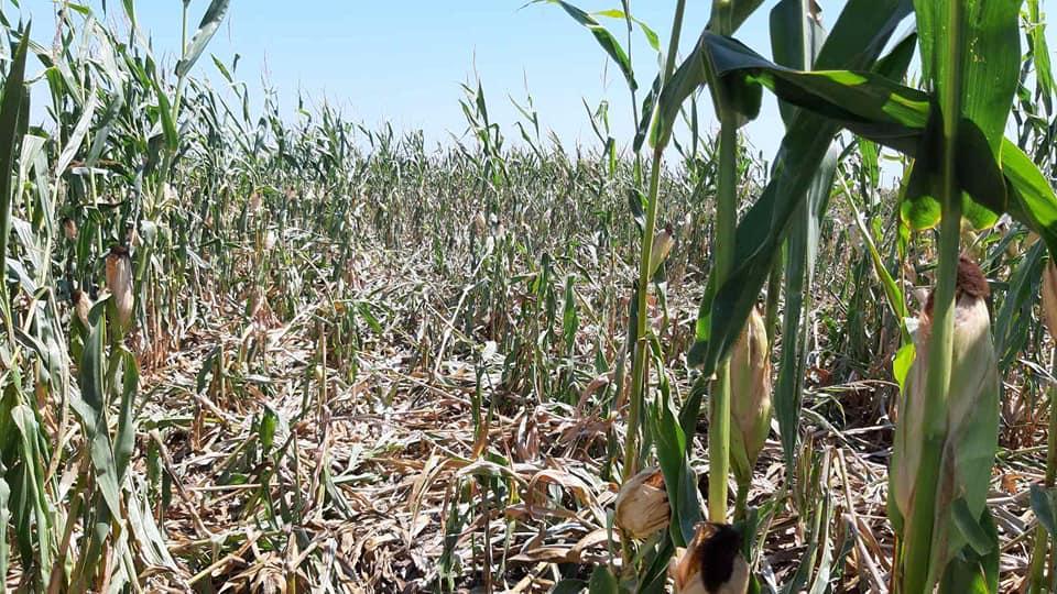 Ξάνθη: Αγριογούρουνα καταστρέφουν χιλιάδες στρέμματα στον κάμπο