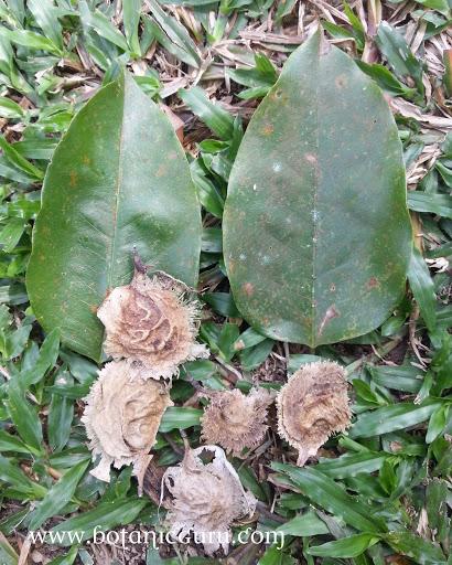 Pterocarpus indicus, Burmese Rosewood fallen leaves and seeds
