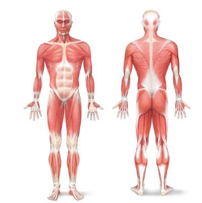 Gambar  .Otot pada Manusia
