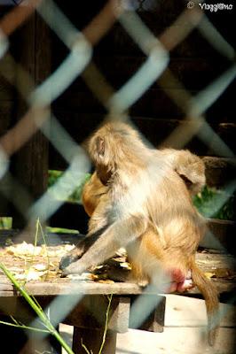 Le scimmie nell'ultimo settore dell'area safari