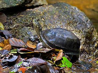 mencari-kura-kura-ambon.jpg