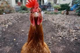 Peluang Usaha Ternak Ayam kampung Super Cepat Panen