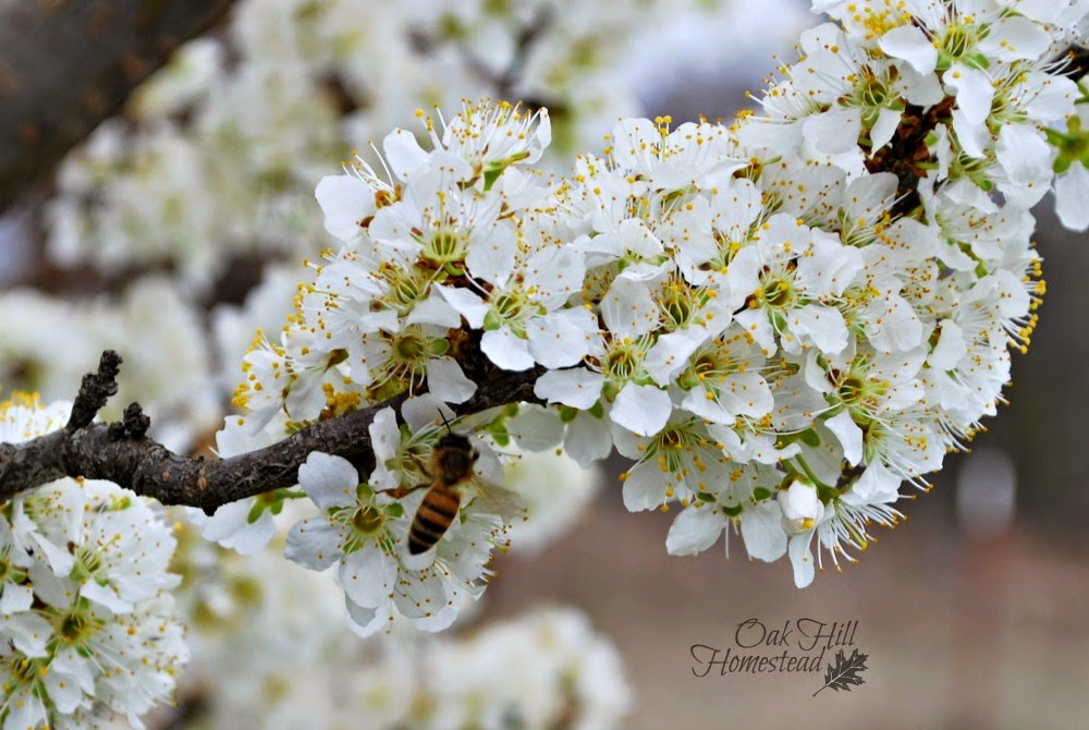 Bee on plum blossoms