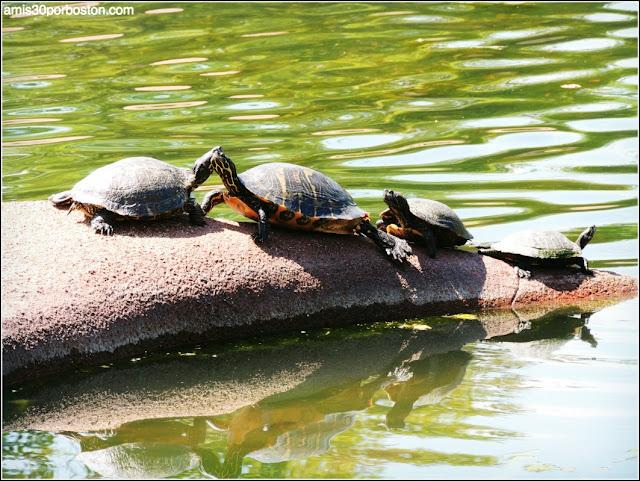 Leonhardt Lagoon en el Fair Park: Tortugas de Orejas Rojas