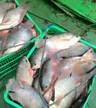 Usaha Budidaya Ikan Gurami Konsumsi