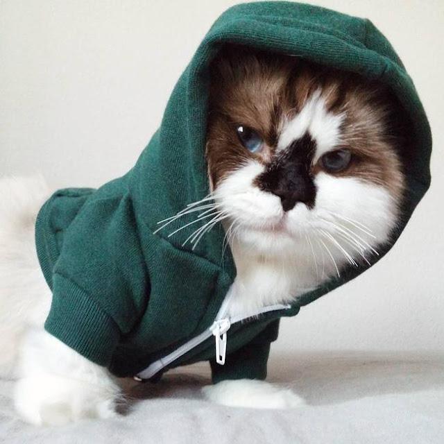 Chú mèo mũi đen thích cosplay không cần cưa mà ai cũng đổ rầm rập