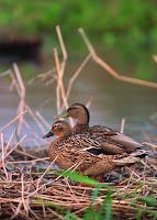 True Hawaiian duck pair, USDA Conservation Service