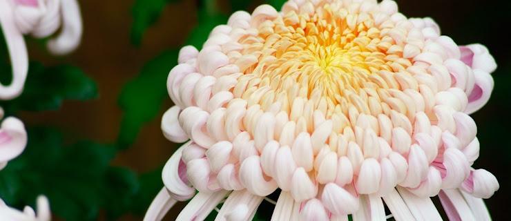 大きく咲いた菊