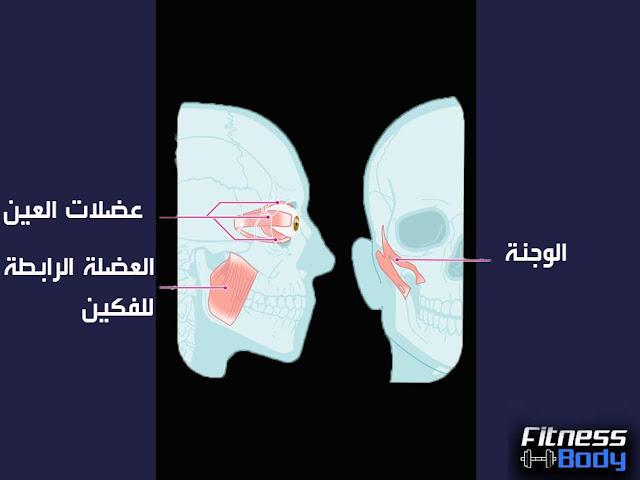 عضلات الوجه