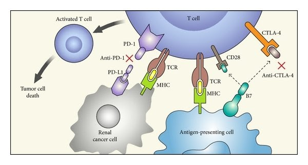 Immune Anti-Inhibitors Regulate Immune Responses and Keep T Cells from Attacking Other Cells in the Body