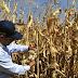 El cambio climático está variando la producción de los diez principales cultivos del mundo
