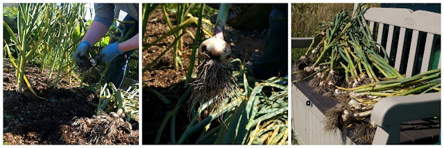 Lifting the garlic - www.growourown.blogspot.com ~ an ecotherapy blog