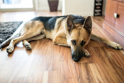 A brown and black German Shepherd lies inside on timber floors