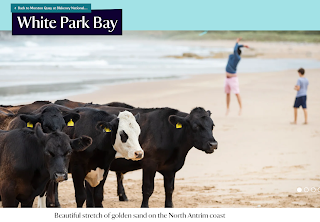 Cows on White Park Bay beach