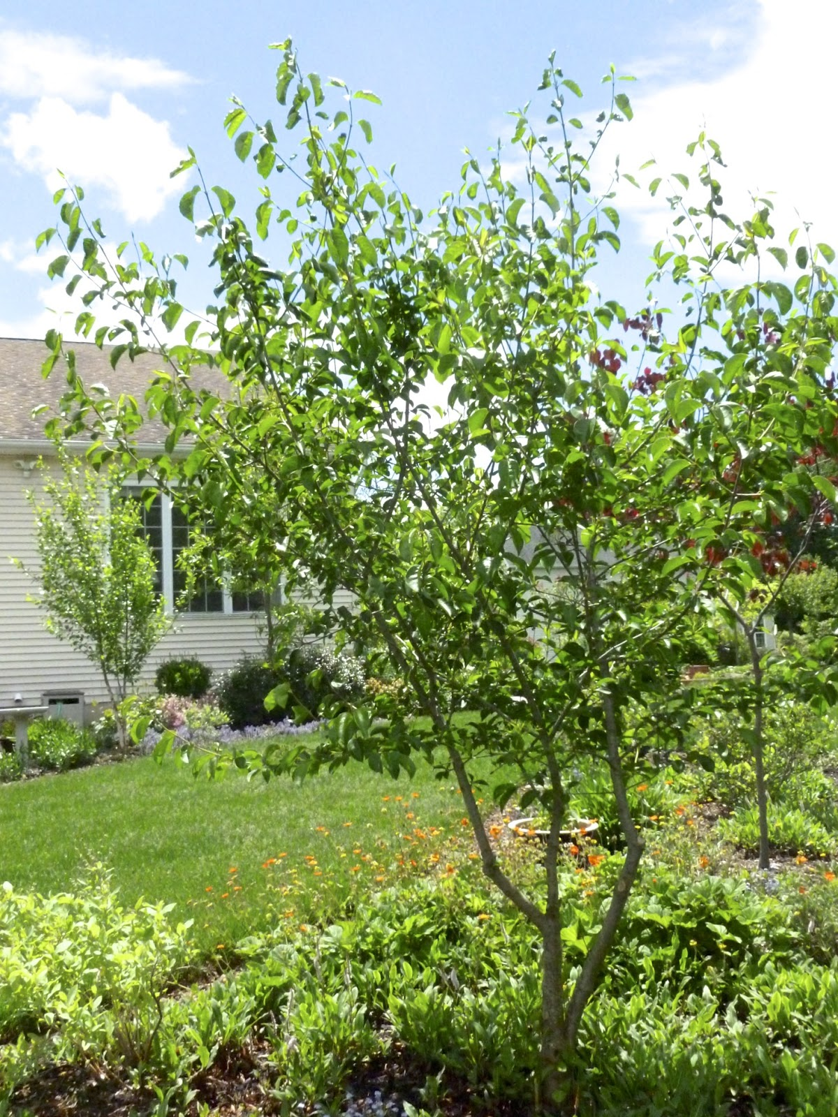 Tree Trunk Protector >> Plant Inventory at 20 Timothy : Viburnum prunifolium / Blackhaw Viburnum