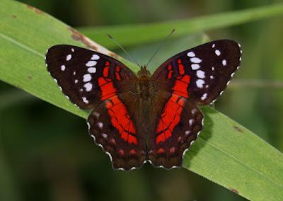 Mariposa princesa roja (Anartia amathea)