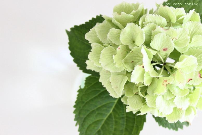 Hortensie in hellgrün, Blumen am Freitag, flowerday, Frage nach Perfektionismus auf Selfie, heute bei kebo homing, Südtiroler Food- und Lifestyleblog