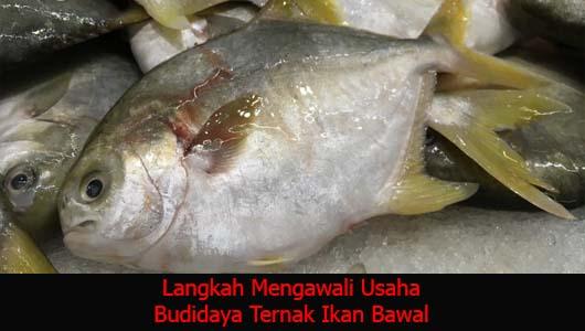 Langkah Mengawali Usaha Budidaya Ternak Ikan Bawal