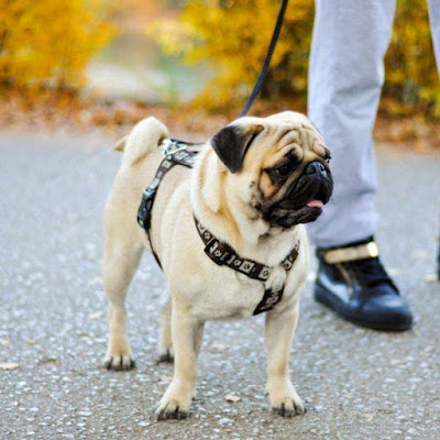 Increase Pug Life Span