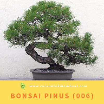 Bonsai Pinus (006)