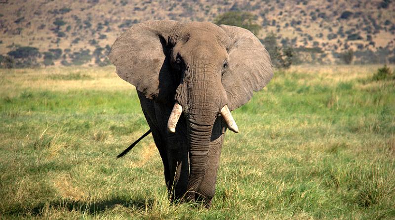 Elefante africano (Loxodonta africana)