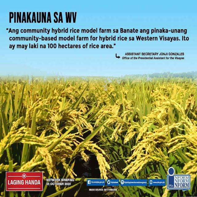 hybrid rice farm