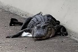 Alligator blocks highway traffic on Texas bridge|interesting news|