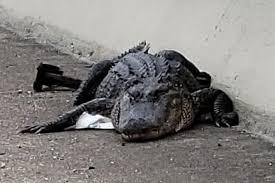 Alligator blocks highway traffic on Texas bridge interesting news 