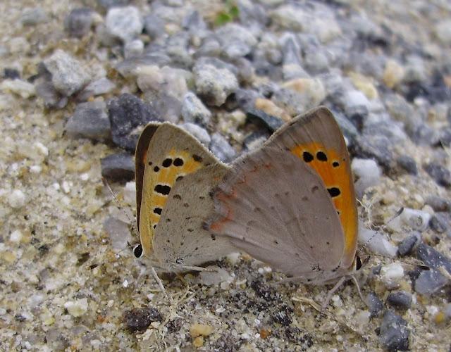 Pareja de mariposas Lycaena phlaeas en copula
