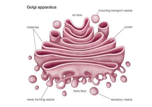 Sel Tumbuhan Beserta Organel dan Fungsinya