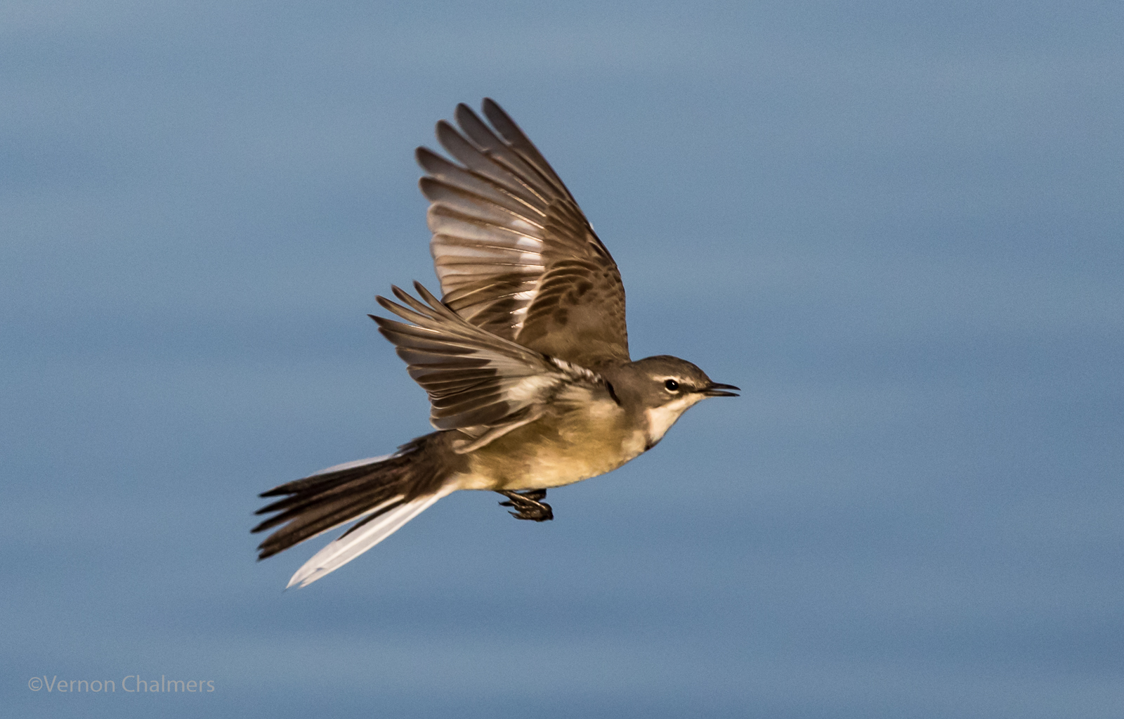 Vernon Chalmers Photography: Cape Wagtails in Flight ...
