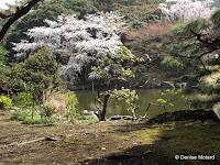 Sakura (cherry trees in bloom) and pond - Ueno Park, Tokyo, Japan