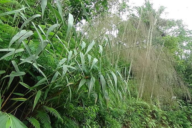 Dlium Broom grass (Thysanolaena latifolia)