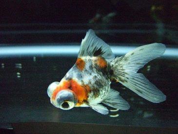 Ikan Mas Koki Demekin