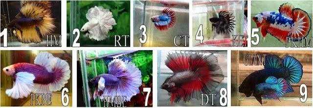 [1] Jenis-Jenis Ikan Cupang | Al Toko Ikan Hias