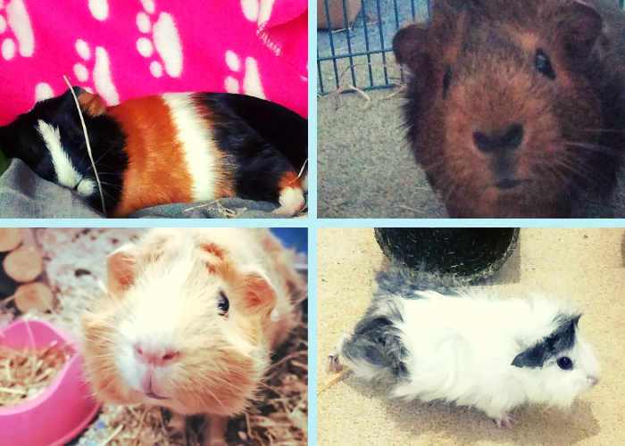 Meet our four guinea pigs