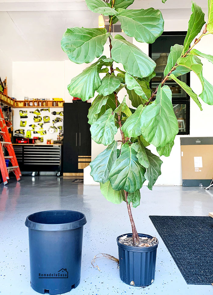 a tall fiddle leaf ready to be trimmed and repotted