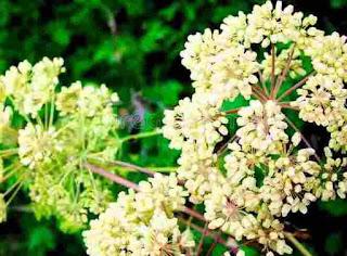 अजमोद के फूल