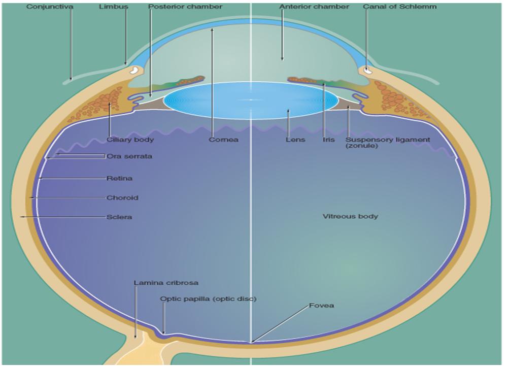 MBBS Medicine (Humanity First): Eye histology