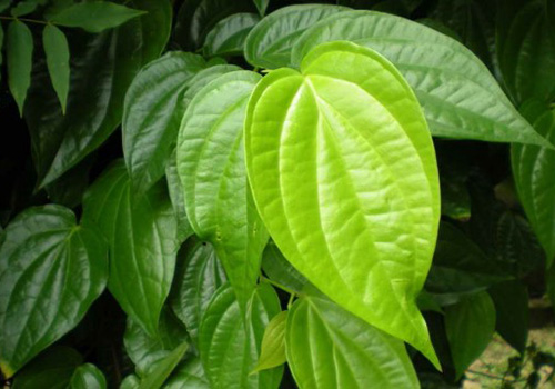 Manfaat daun Sirih Buat Kecantikan