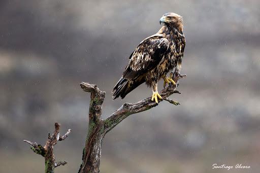 Águila imperial posado en las ramas secas de un enebro