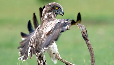 Perlawanan kobra terhadap burung elang