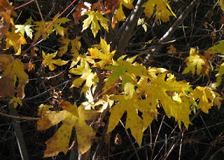 Big Leaf Maple (Acer macrophyllum) leaves turning yellow, San Felipe Road, San Jose, California