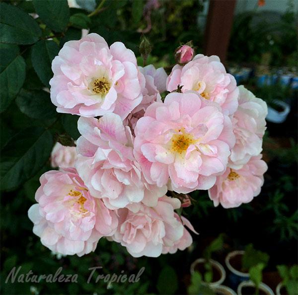 Conjuntos de rosas blancas