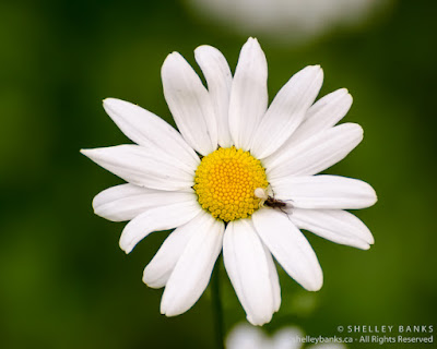 Oxeye Daisies. Copyright © Shelley Banks, all rights reserved