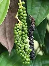 काली मिर्च( black paper) का पौधा घर पर कैसे लगाये।