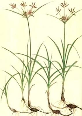 rumput teki berkembang biak dengan stolon